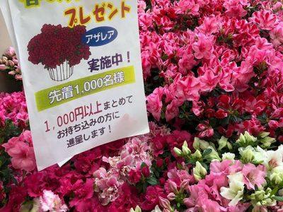 春のアザレアプレゼントキャンペーン♪~北陸クリーニング工場:新潟県柏崎市~