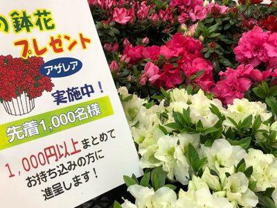 春のアザレアキャンペーン(1000円以上まとめてお持ち込みになった方に進呈)